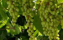 coral grapes
